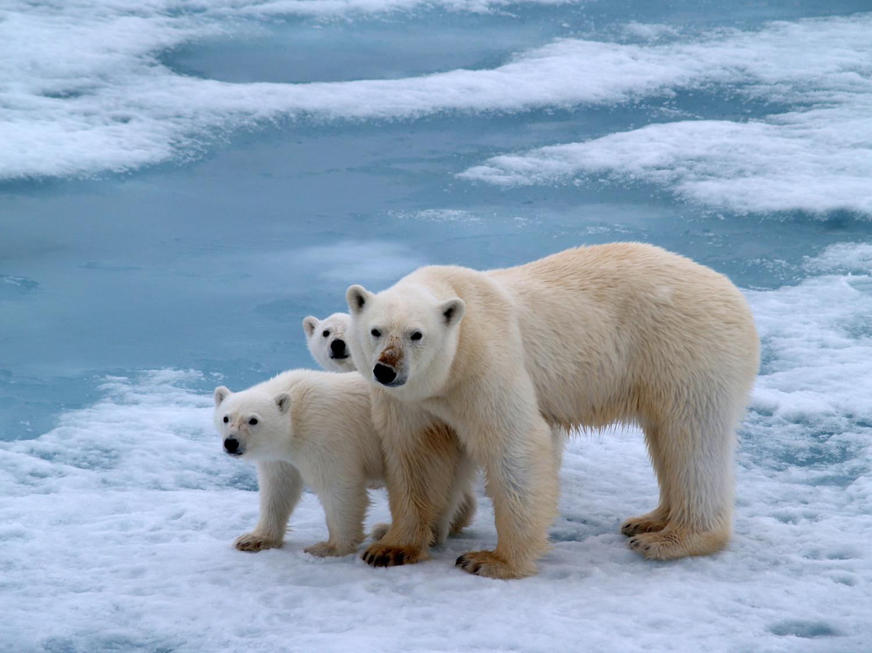 Pin Antarctica Polar Bear Widescreen Free Wallpapers Hd ...